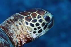 Green Turtle, 100 mm macro with 1.4 teleconverter by Martin Dalsaso